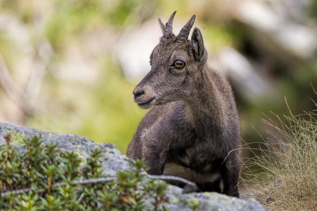 Du Mercantour à la Méditerranée, rencontres avec la faune sauvage au 150-600mm