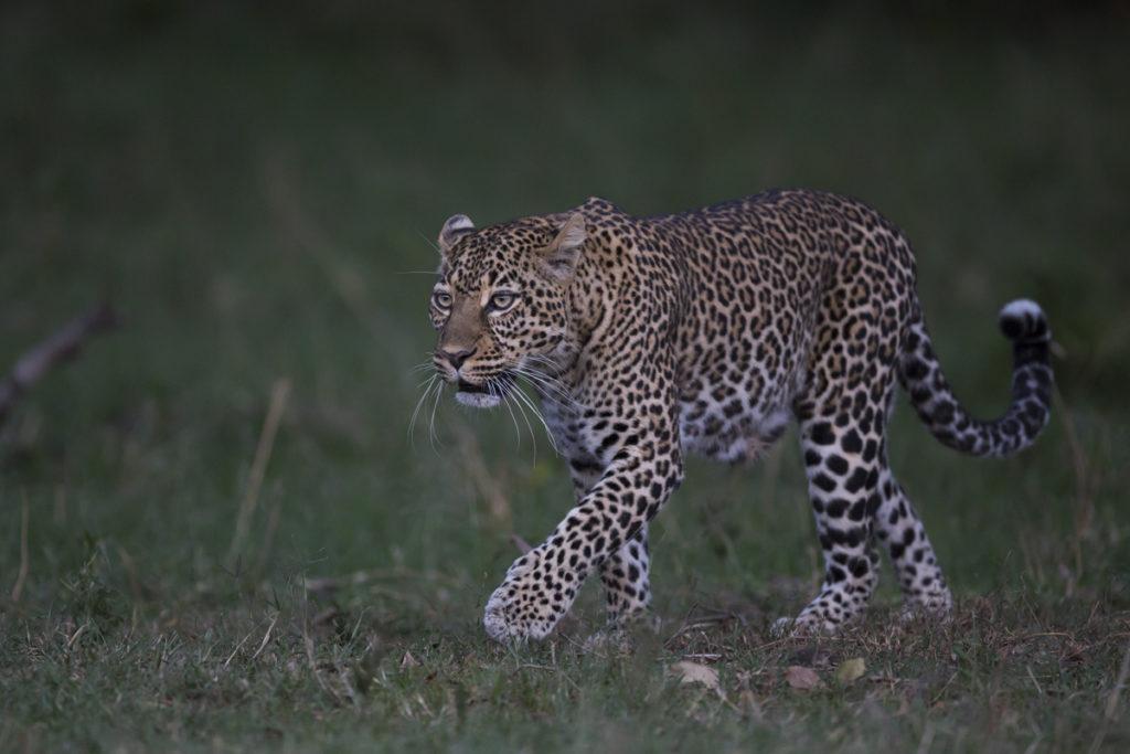 Le Kenya avec le 500mm Sports par Cédric Dupont